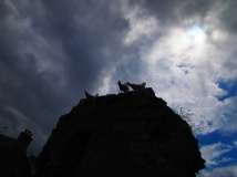 Herring gulls on castle wall